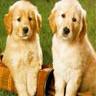 Puppy gold6